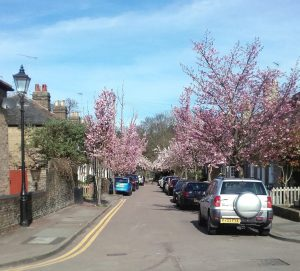 Trees in bloom in Thornton Street