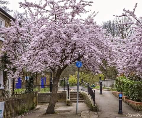 Blossom on Thornton Street bridge